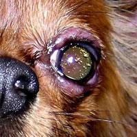 блефарит у животных, ветеринария