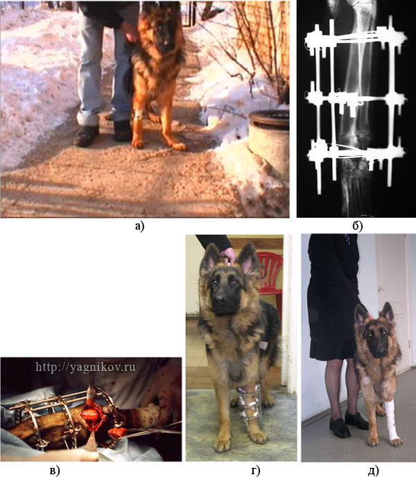 Собака с вальгусной деформацией левой грудной конечности (carpus valgus)