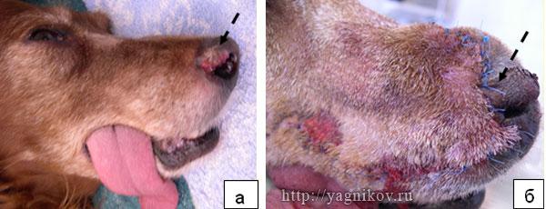 Животное с плоскоклеточным раком носового зеркала