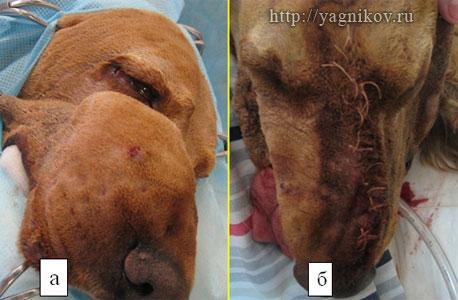 Фибросаркома верхнечелюстной кости, собака спаниель