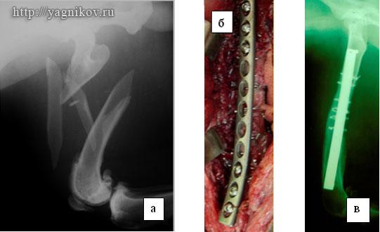 Рентгенограмма правой бедренной кости собаки