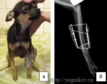 Внешний вид собаки с переломом левого предплечья