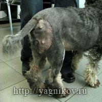Пластическая хирургия в ветеринарии