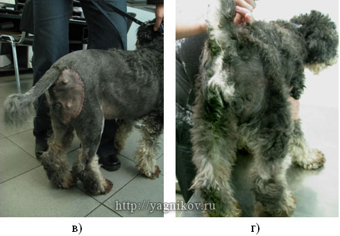 Собака: Заживление операционной раны по первичному натяжению
