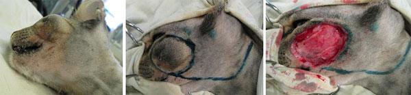 Иссечение саркомы мягких тканей в подглазничной области у кота