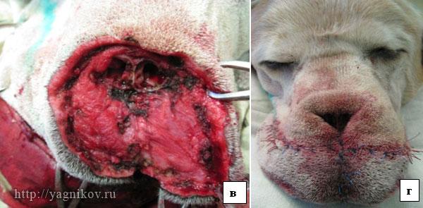 Собака: Широкое иссечение опухоли носового зеркала