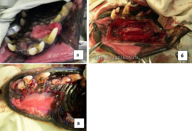 Пластическая хирургия Амелобластома верхнечелюстной кости собаки