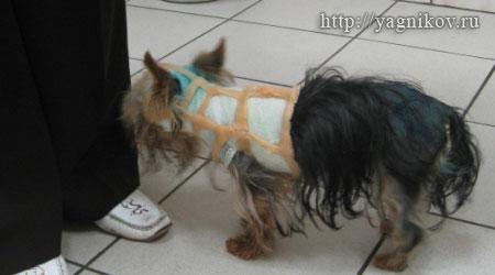 йорк-терьер в корсете после операции
