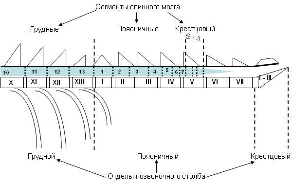 Схематическое изображение отделов позвоночного столба и сегментов спинного мозга.