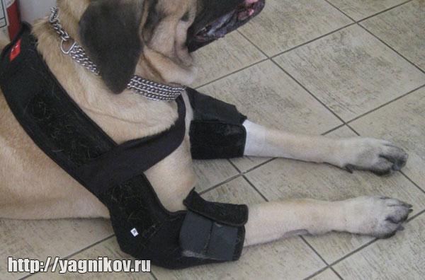 Повязка DoggLegg у животного с гигромой локтевых суставов