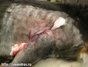 гигрома локтевого сустава собак, врач Ягников