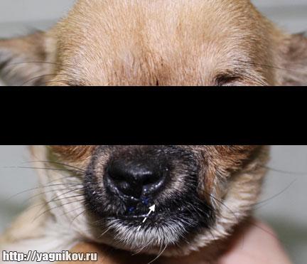 чихуахуа после пластической операции по устранению волчьей пасти