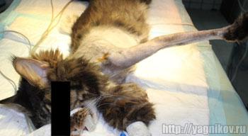 Вид животного перед операцией по резекции опухоли